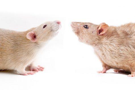 When Rats Reflect Society